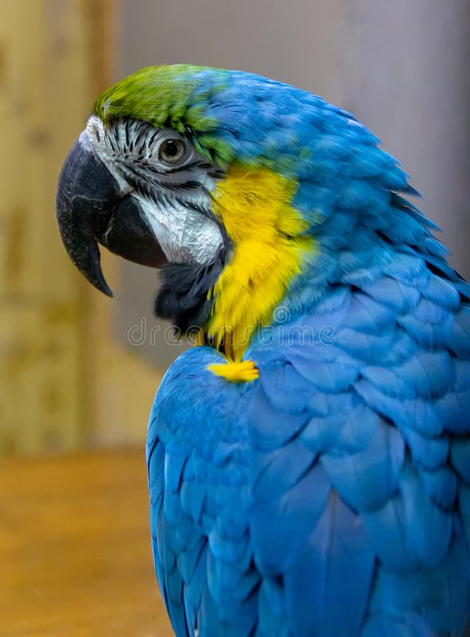 Exotic wild parrot aura of blue-yellow color close-up at the zoo. Exotic pet stock images