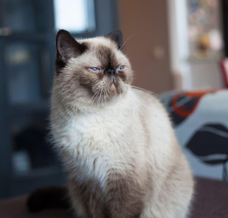Exotisch kattenras stock afbeeldingen