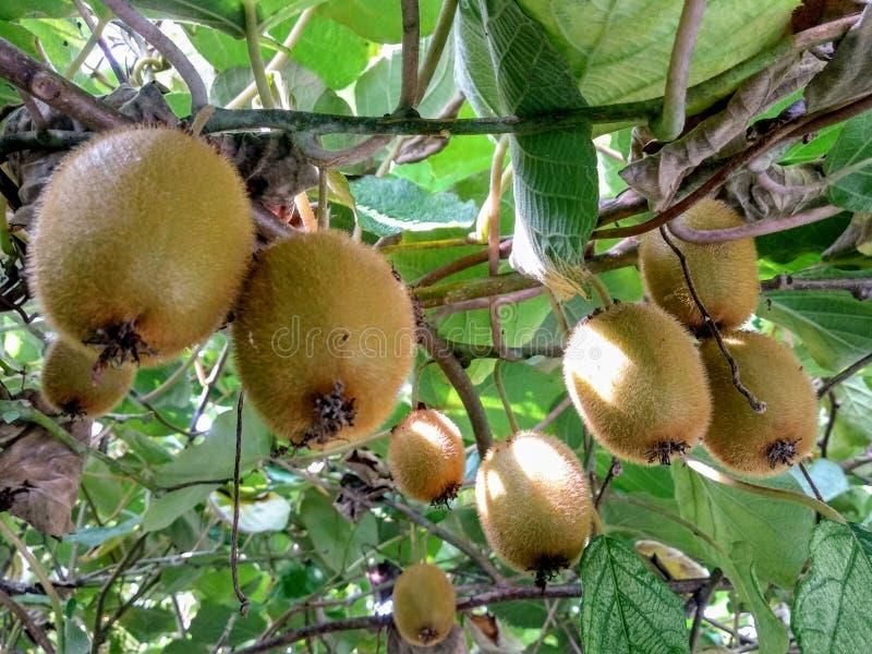 Exotisch Kiwi Fruits stock foto's