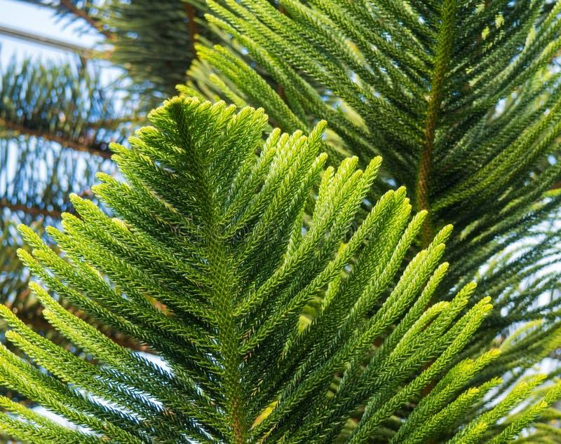 Exotische bladeren en takken van de mooie araucaria pijnboomboom royalty-vrije stock fotografie