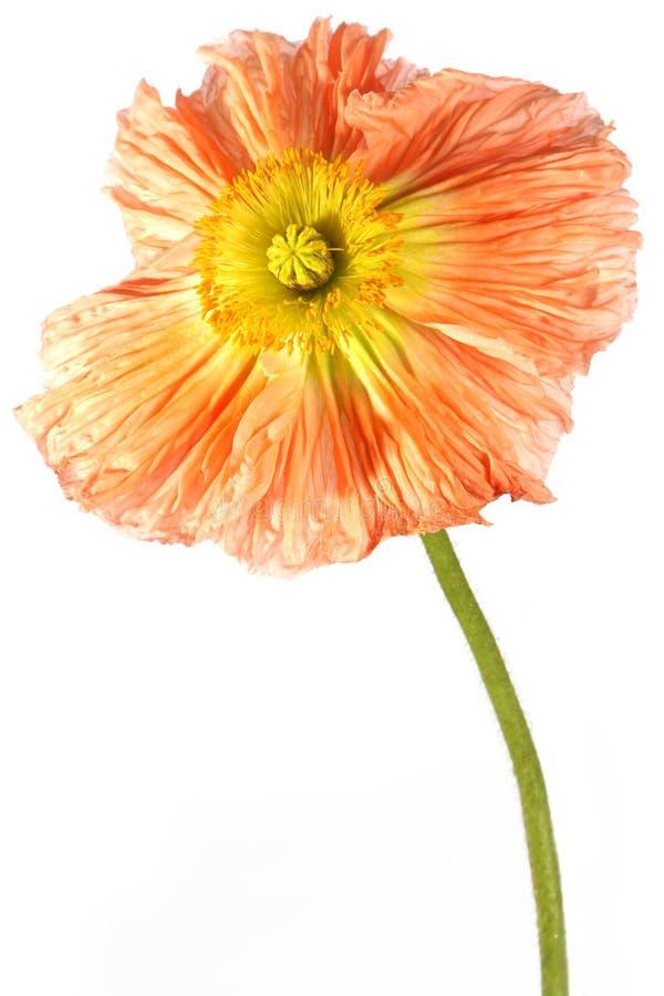 Exotische Blumenmohnblume lizenzfreies stockfoto