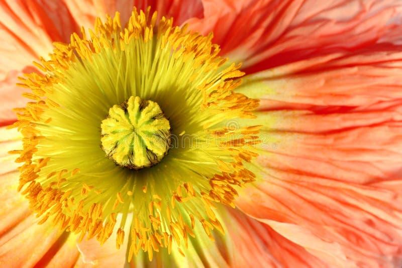 Exotische Blumenmohnblume lizenzfreie stockfotos