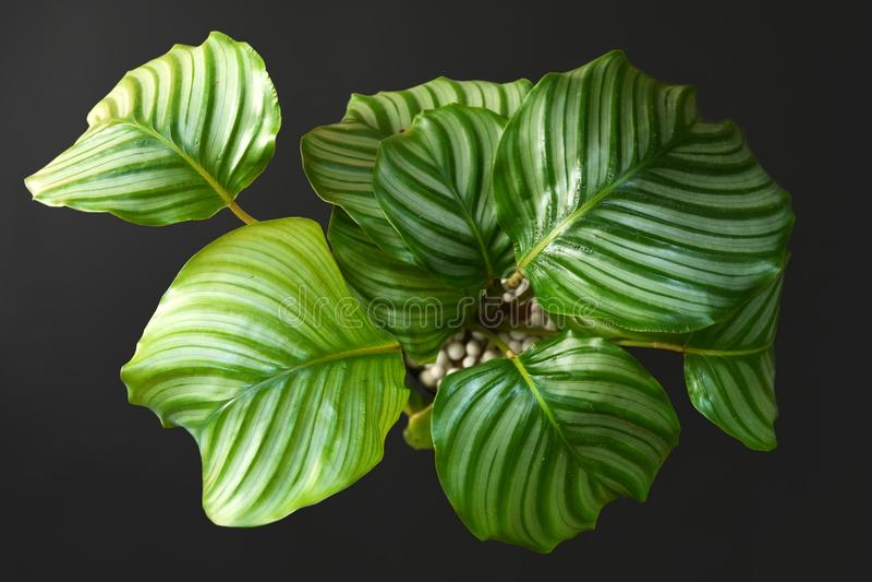 Exotische 'Calathea Orbifolia Gebet Pflanze' mit runden Blättern mit Streifen auf dunkelschwarzem Hintergrund stockbilder