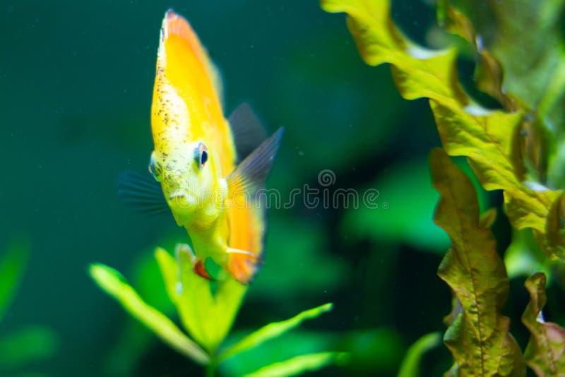 Exotische gelbe Fische im Wasser stockfoto