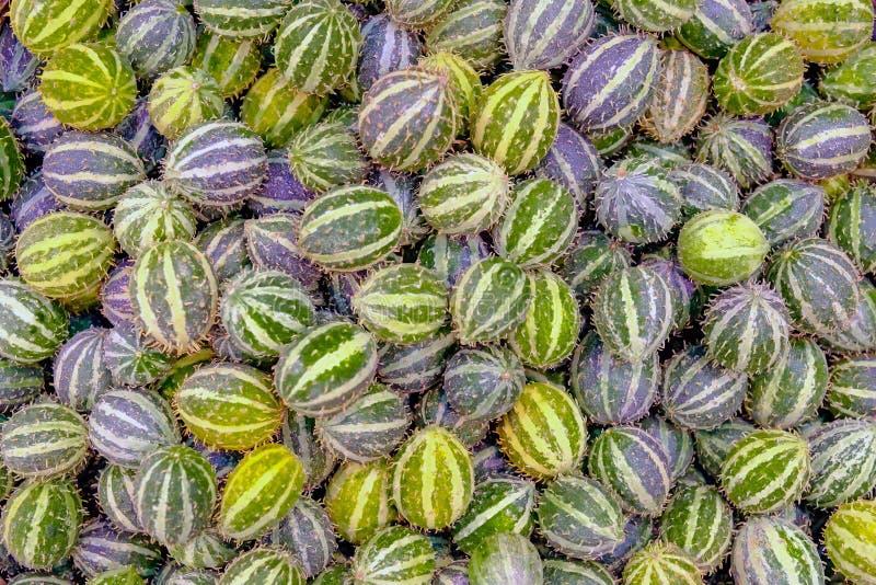 Exotische groentenanguria stock afbeelding