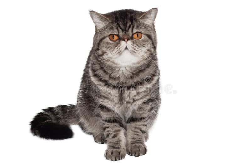 Exotische kurzhaarige Katze Lokalisiert auf Wei? Sitzen vor wei?em Hintergrund stockbilder