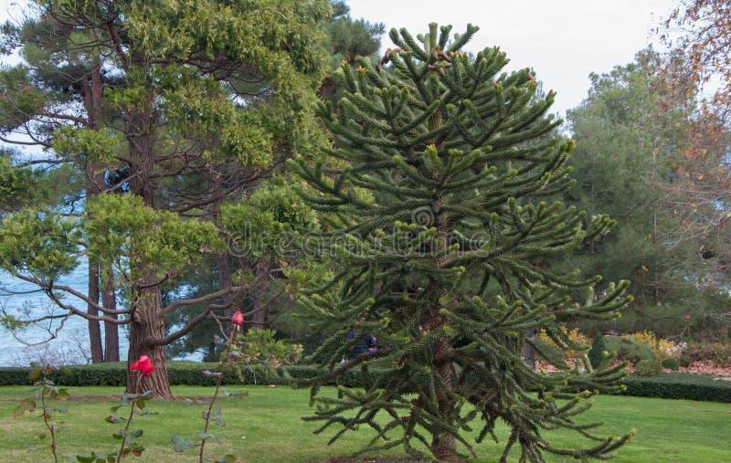 Exotische Nadelbäume im Park stockfotografie