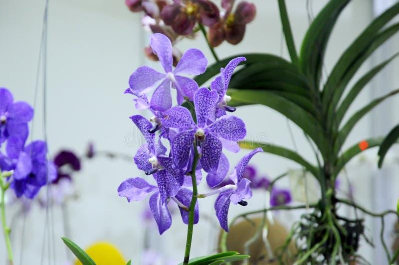Exotische orchideeënbloem binnen het binnenkinderdagverblijf stock afbeeldingen
