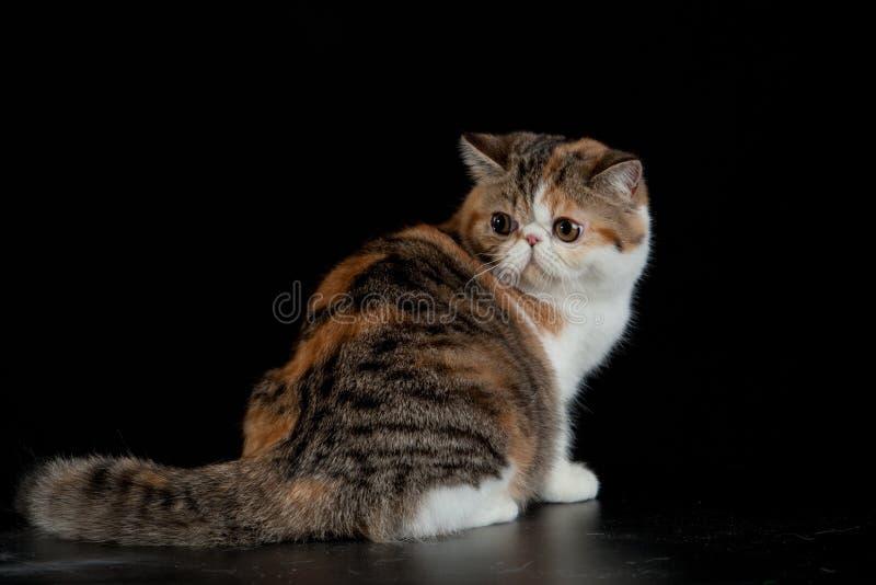 Exotische Perzische kat op zwart huisdier als achtergrond met grote ogen royalty-vrije stock foto's