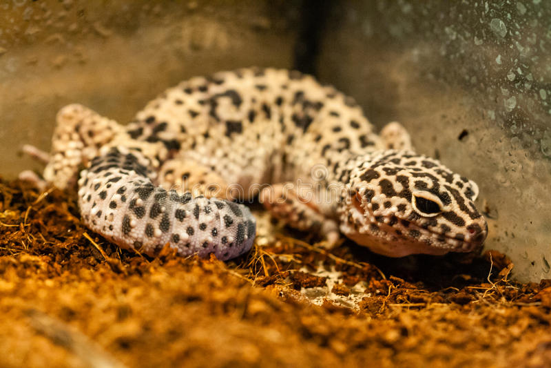 Exotische Reptil eublepharis Tier stockfoto