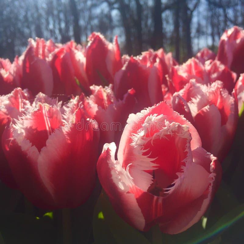 Exotische rode en witte omzoomde de Lentetulpen in Keukenhof dichtbij Amsterdam in Nederland royalty-vrije stock afbeelding