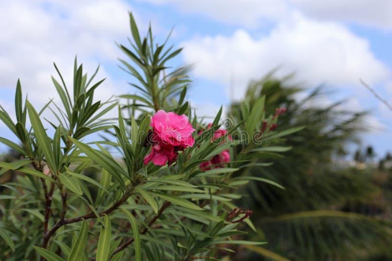Exotische, rosa tropische Blume mit blauem Himmel und Stadt auf Jimbaran, Bali im Hintergrund lizenzfreies stockfoto