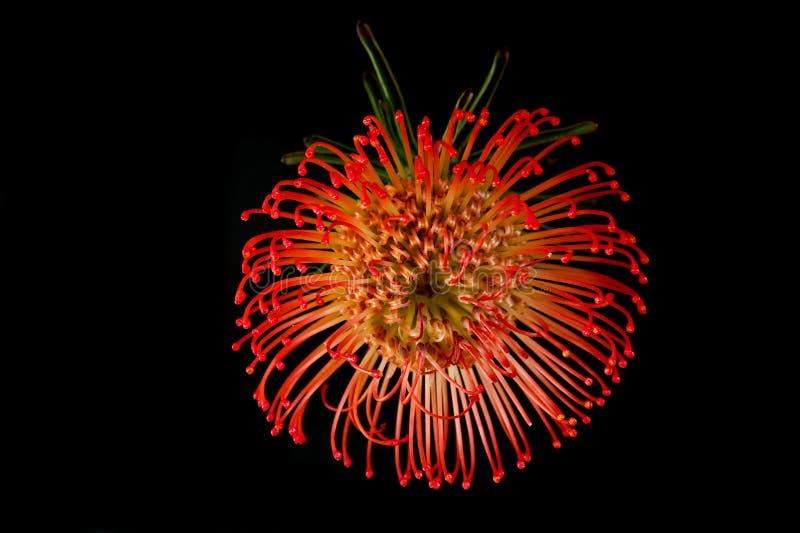 Exotische rote Blüte der Blume lizenzfreies stockfoto