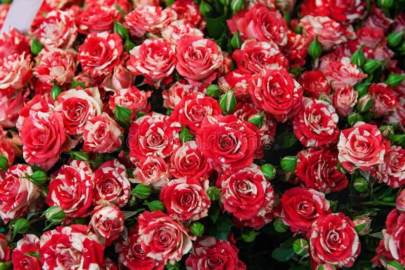 Exotische rozen van scharlaken rode elite moderne verscheidenheden in het boeket als gift Achtergrond Selectieve nadruk stock afbeeldingen