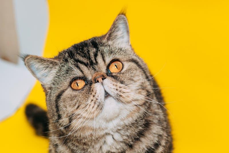 Exotische shorthairkat met gele ogen op een gele achtergrond royalty-vrije stock afbeeldingen