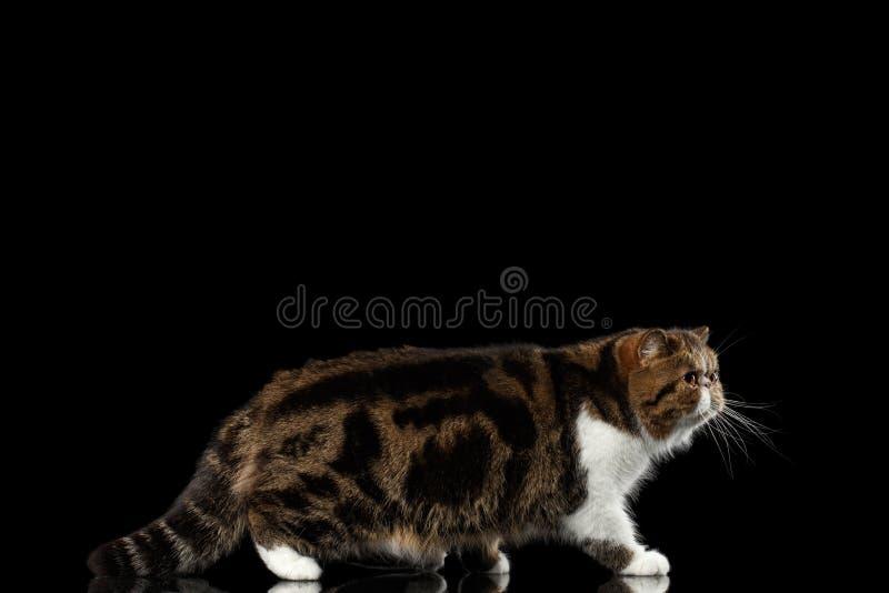 Exotische Tabby Cat Walks op spiegel, Geïsoleerde Zwarte achtergrond royalty-vrije stock afbeelding