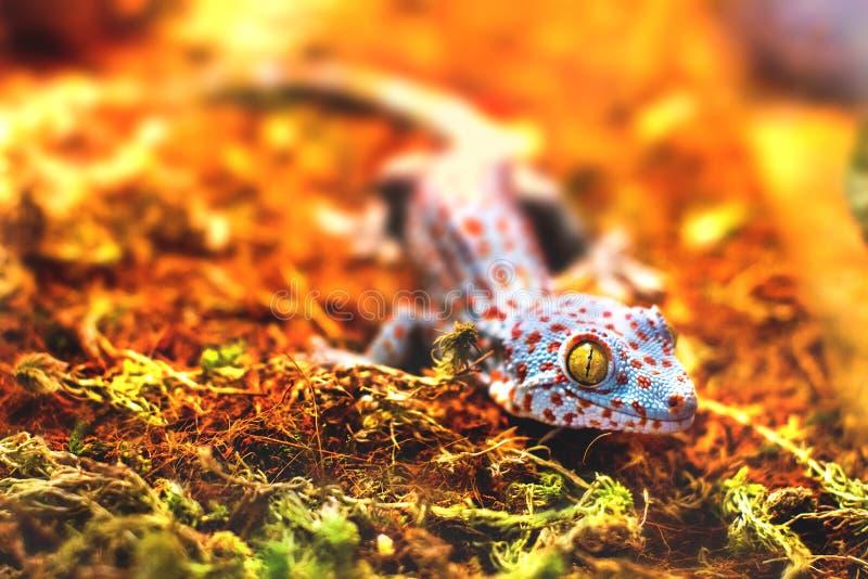 Exotische tierische tokay Geckoeidechse stockbild