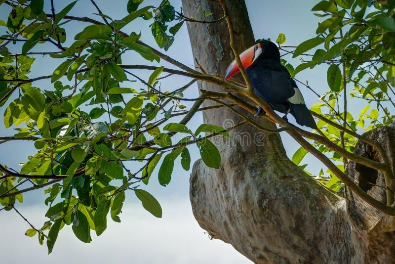 Exotische toekanvogel in het natuurlijke plaatsen dichtbij Iguazu-Dalingen van Foz D stock afbeelding