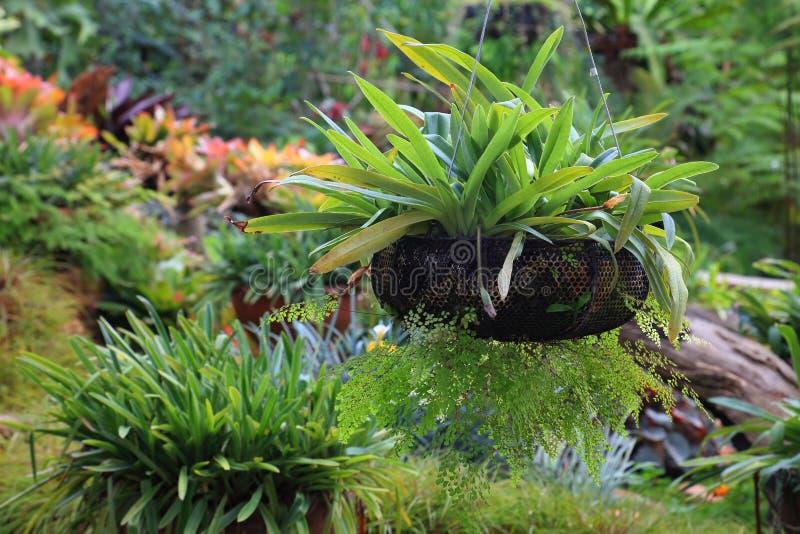 Exotische tropische Anlage und Ersthaarfarn auf h?ngendem Korb im ?ppigen gr?nen Garten mit Kopienraum stockfotos