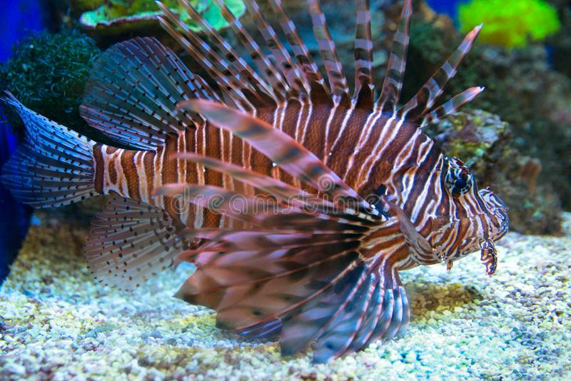 Exotische tropische vissenleeuw in het aquarium stock afbeeldingen