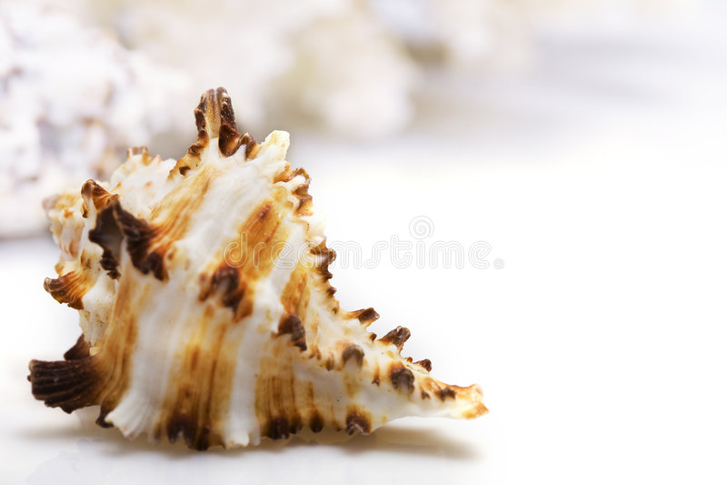 Exotische zeeschelp stock fotografie