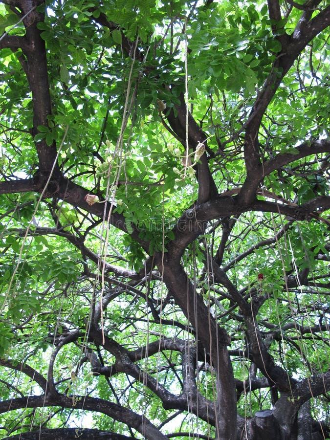 Exotischer Baum in Miami, Florida lizenzfreies stockbild