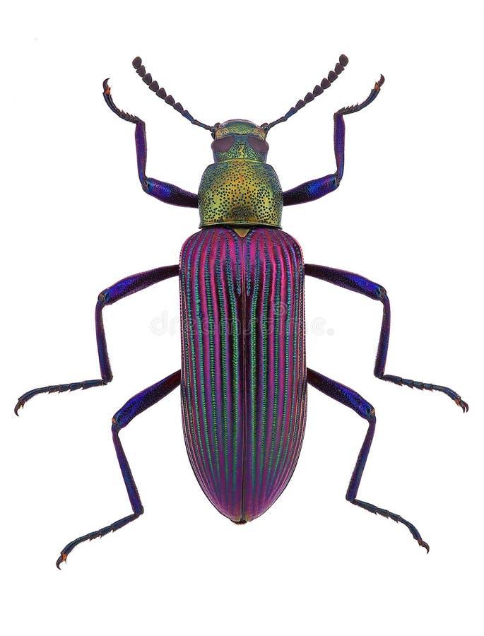 Exotischer darkling Käfer von Madagscar lizenzfreie stockfotografie