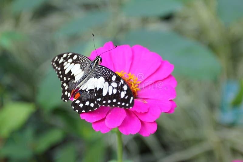 Exotischer Schmetterling im nat?rlichen Lebensraum stockbilder