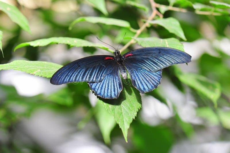 Exotischer Schmetterling mit metallischer dunkelblauer Färbung lizenzfreie stockbilder