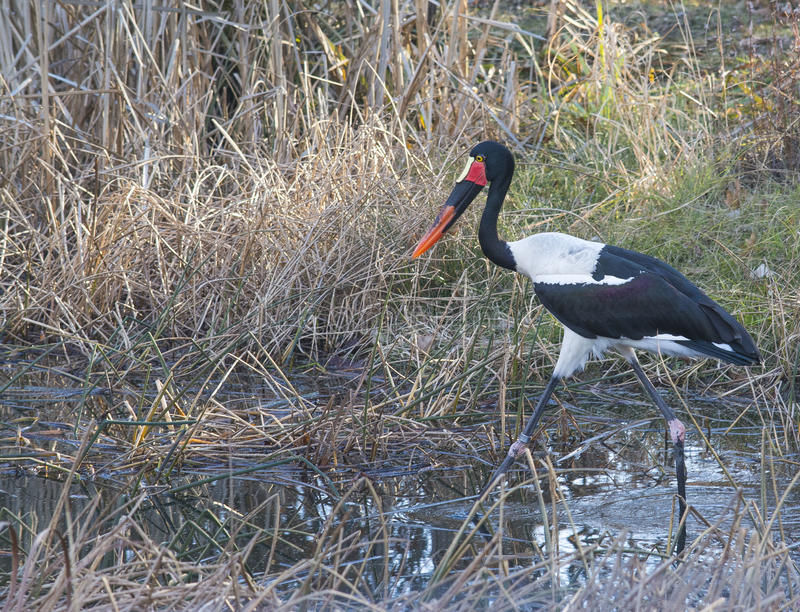 Exotischer Vogel, der durch Schilfe geht lizenzfreies stockfoto