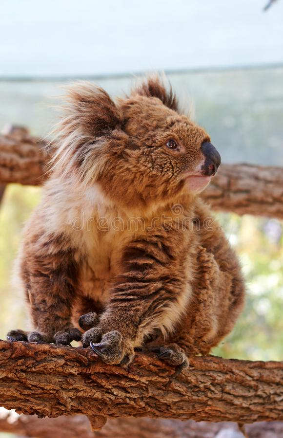 Exotisches Tier - Koala stockfoto