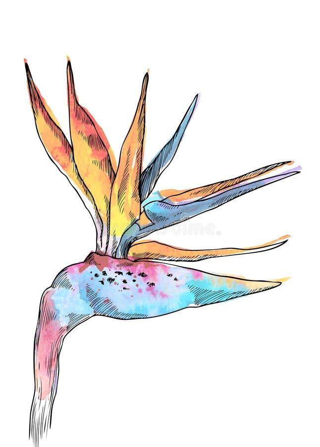 Exotisk blomma av den tropiska växten för strelitzia Drog blommor och sidor för vattenfärg hand Design för inbjudan, bröllop elle stock illustrationer