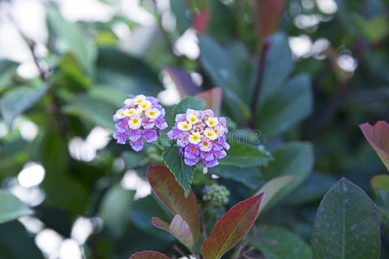 Exotisk blommaLanthanum Camara, buske med ljusa blommor av familjverbenaen royaltyfria foton
