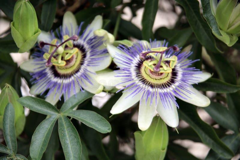 exotisk blommapurple arkivbilder