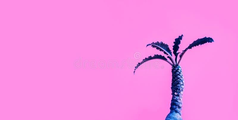Exotisk färg av den Dorstenia kaktuns på färgrik bakgrund fotografering för bildbyråer