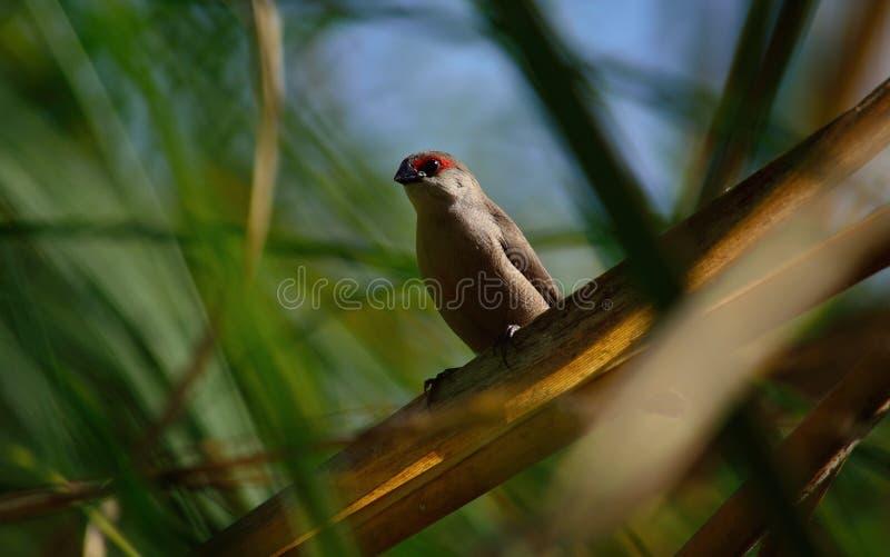Exotisk fågel mellan vasser arkivfoto