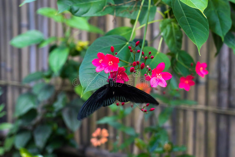 Exotisk fjäril på blommor, härlig fjäril och blomma i trädgården av den tropiska Bali ön Slut upp fjäril på arkivfoto