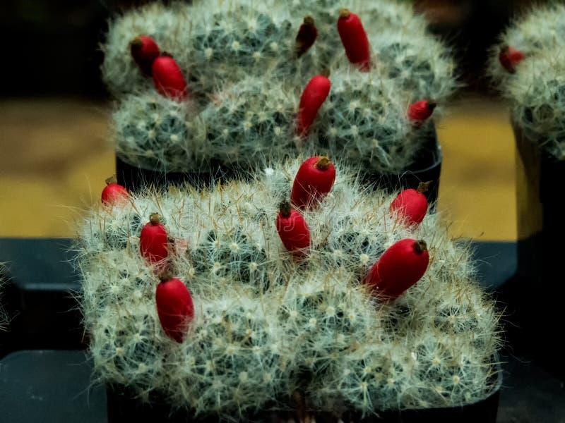 Exotisk kaktusväxt med blommaknoppar arkivbild
