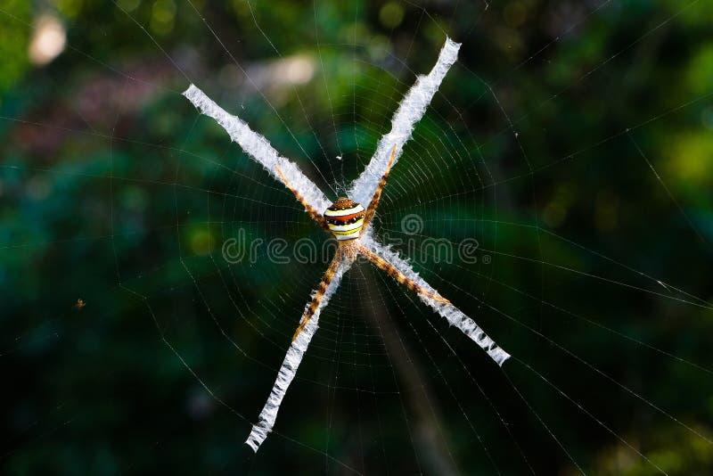 Exotisk mångfärgad spindel med en spindelnät i form av ett kors arkivbild