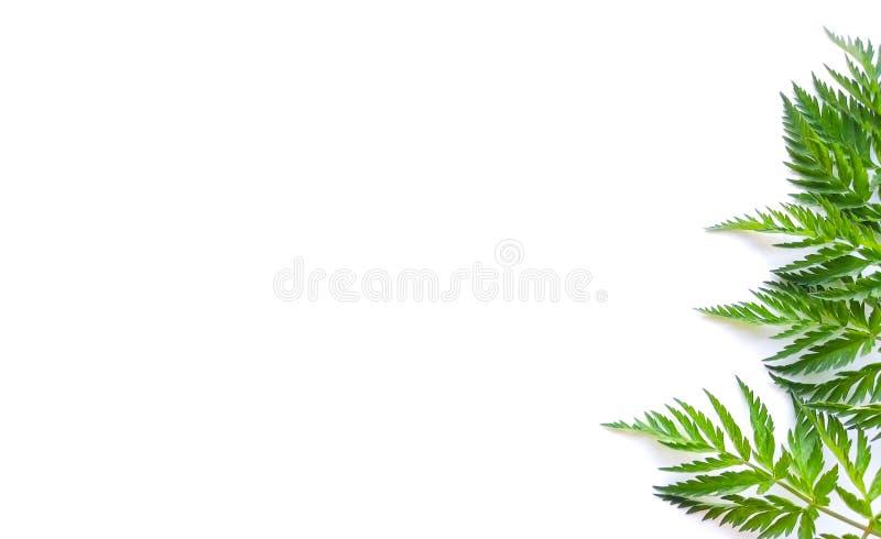 Exotisk natur utformat foto, djungelsammans?ttning Gr?splan g?mma i handflatan och araliasidor som isoleras p? vit tabellbakgrund arkivfoton