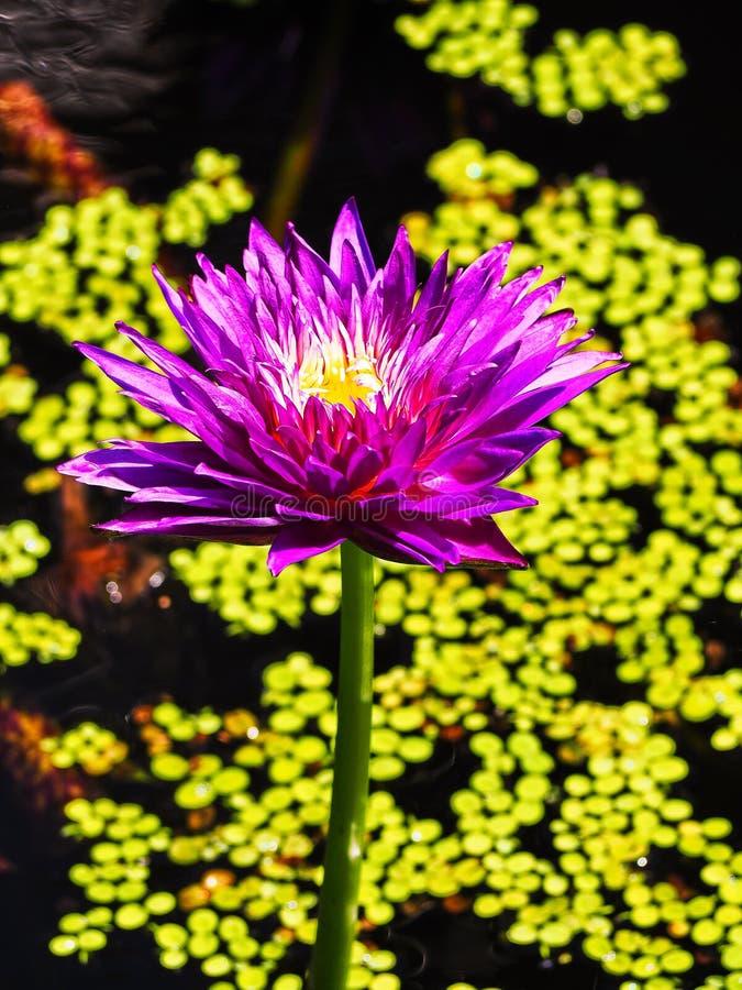 Exotisk rosa lotusblommablomma på grön lövrik bakgrund royaltyfria foton