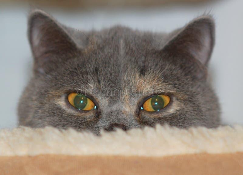 exotisk shorthair för katt royaltyfria bilder
