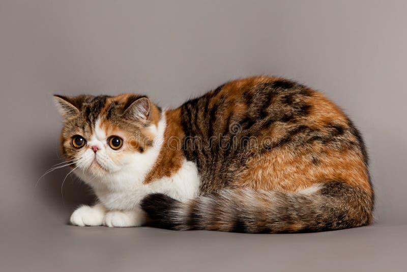 Exotisk shorthairkatt.  persisk katt royaltyfri fotografi