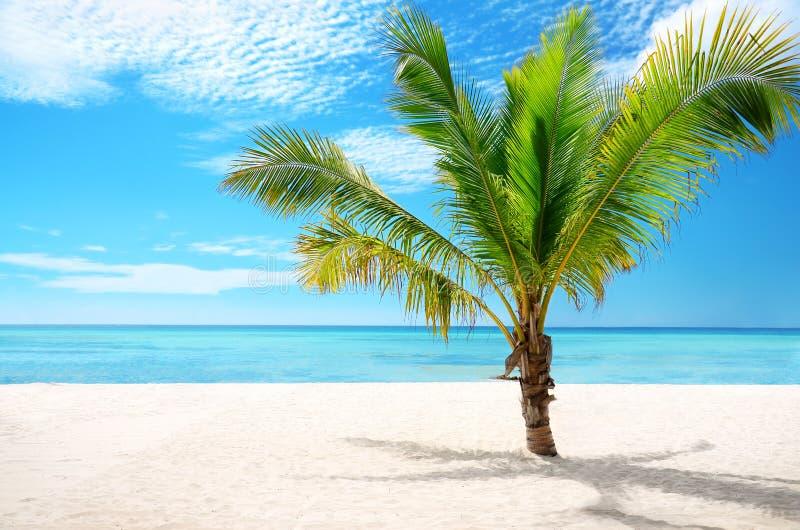 Exotisk strand- och kokosnötpalmträdSaona ö, dominikan Repub royaltyfria bilder
