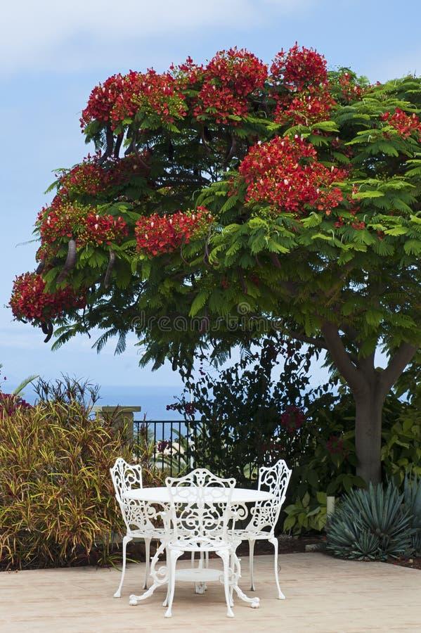 Exotisk trädgårds- dekor med ett lyxigt kungligt Poinciana träd i blom arkivbild