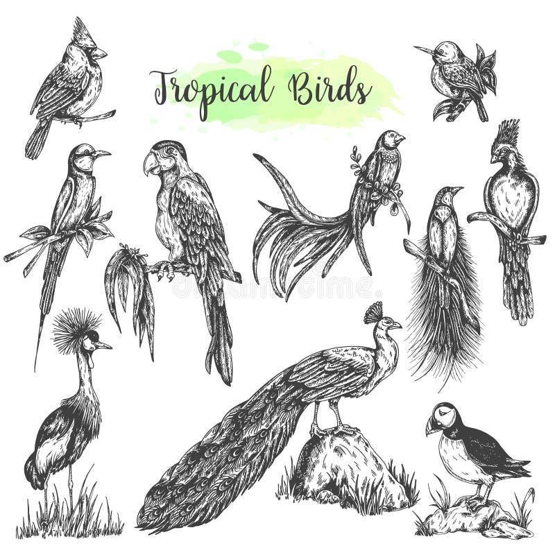 Exotisk tropisk dragen papegoja för fågelvektor hand Skissa stilmunkhättor, påfågeln, isolerad fågel för kardinal Vector royaltyfri illustrationer
