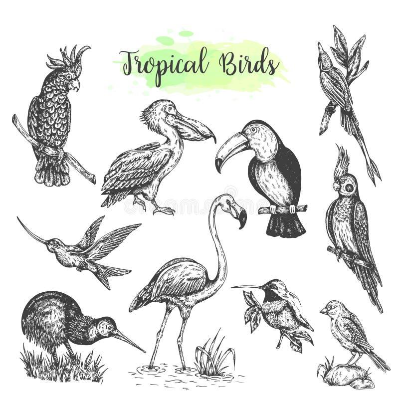Exotisk tropisk dragen papegoja för fågelvektor hand Skissa stiltukan, flamingo, kakadua Vektor isolerad fågel stock illustrationer