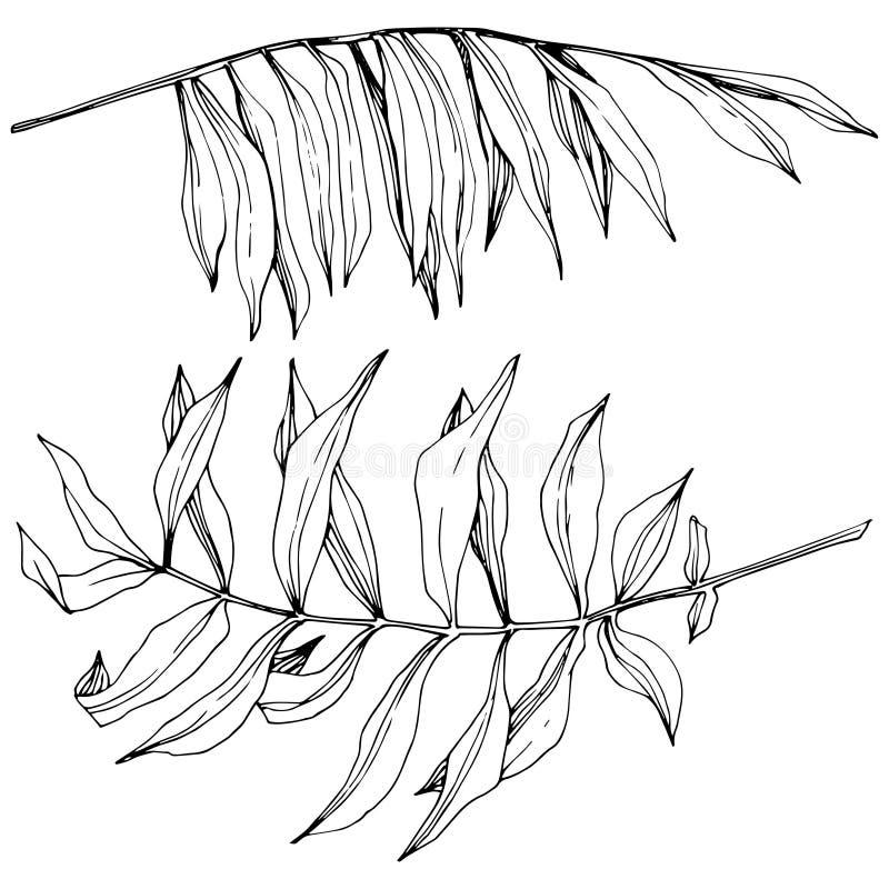 Exotisk tropisk hawaiansk sommar för vektor Svartvit inristad färgpulverkonst Isolerad bladillustrationbeståndsdel vektor illustrationer