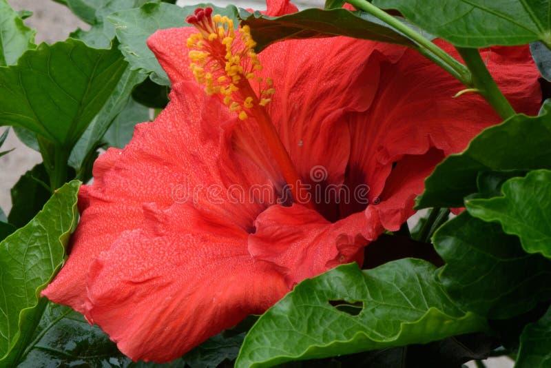 Exotisk tropisk röd hibiskusblomning som kura ihop sig i grön lövverk royaltyfria bilder