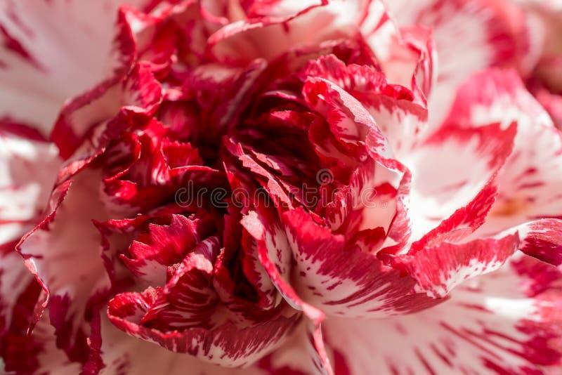 Exotisk vit och röd nejlika arkivbild